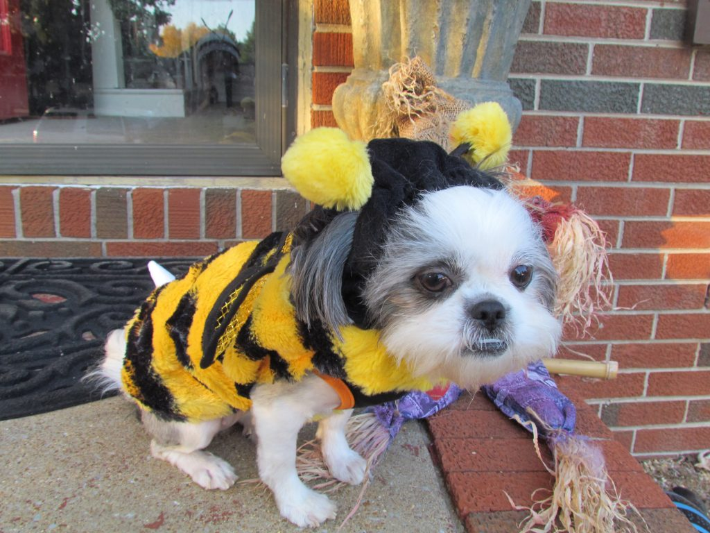Shih Tzu Puppy in Costume