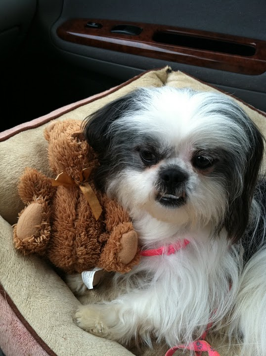 shih tzu with teddy bear