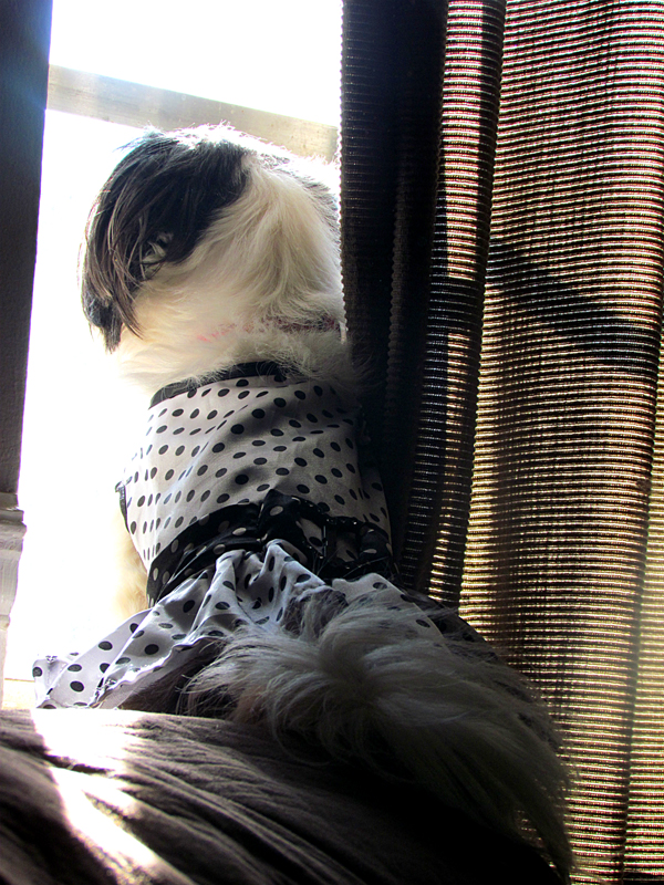 Shih Tzu in Dress