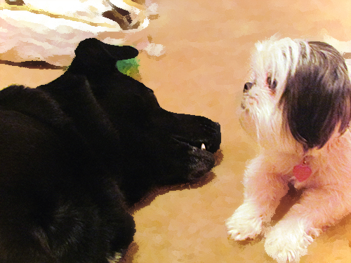 Black Lab loves his Shih Tzu sister