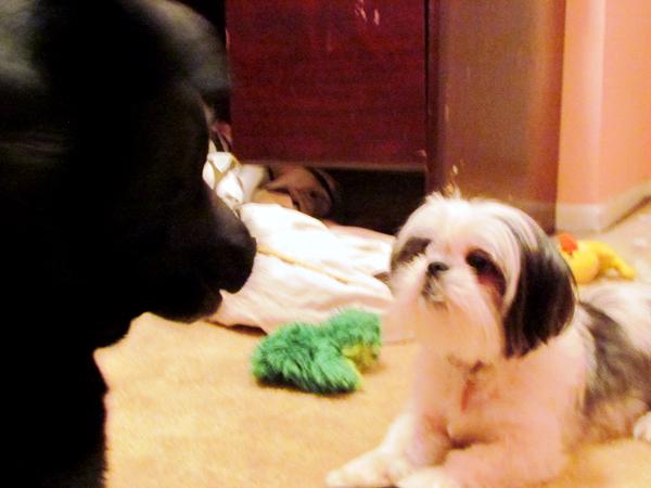 Shih Tzu Puppy and Labrador