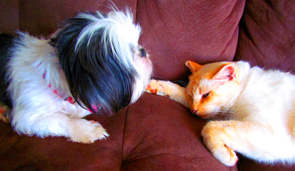 Flame Point Siamese Cat and Shih Tzu