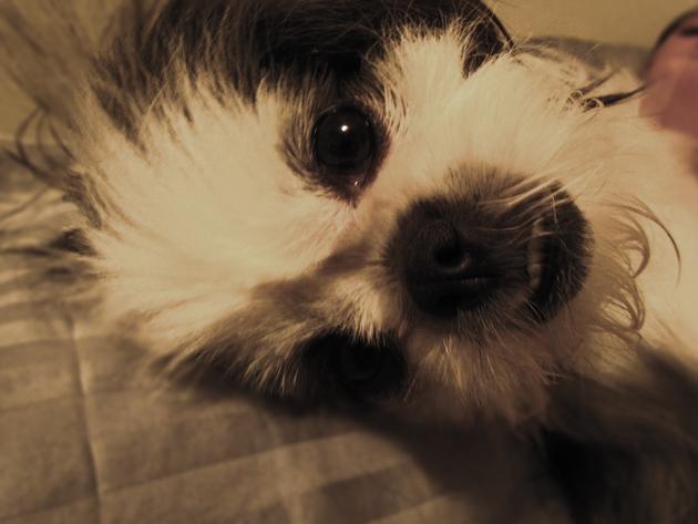 Shih Tzu Puppy Face