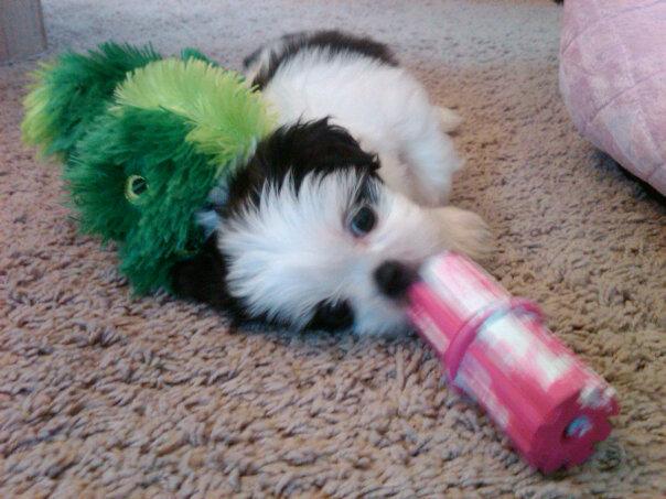 Shih Tzu Puppy 6 Weeks