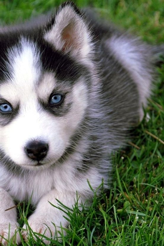 Pomsky Blue Eyes