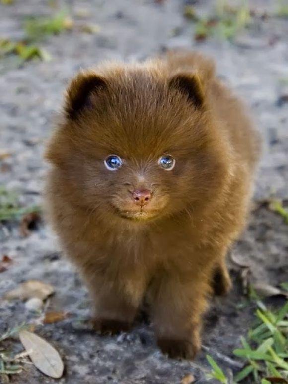 Pomeranian Husky The Pomsky Cutest Designer Dog Ever Gracie