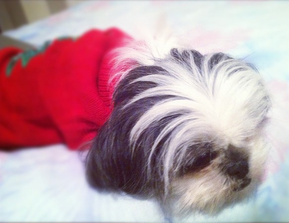 Shih Tzu Dog in Red Sweater