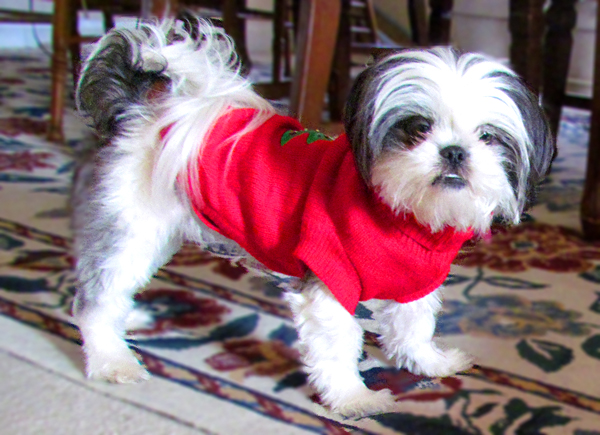 Black and White Shih Tzu in Red Sweater
