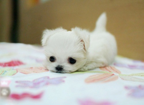 Another Maltese puppy (I think). A tiny, tiny baby puppy. So cute that