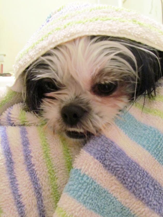Shih Tzu after Bathing