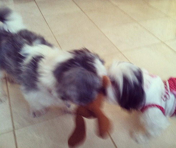 Two Shih Tzus Playing