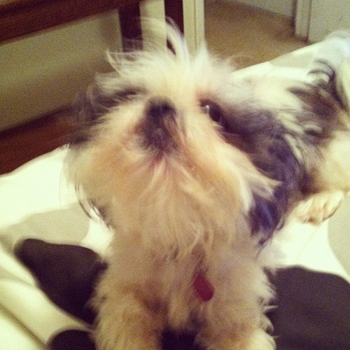 Shih Tzu needs haircut
