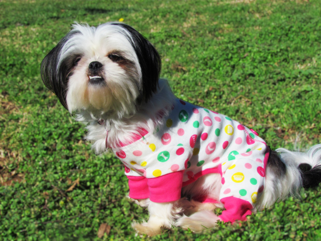 shih tzu in dog pajamas