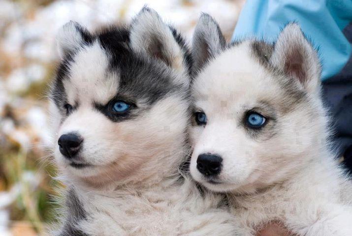 Pomsky With Blue Eyes Pomsky blue eyes. pomskies