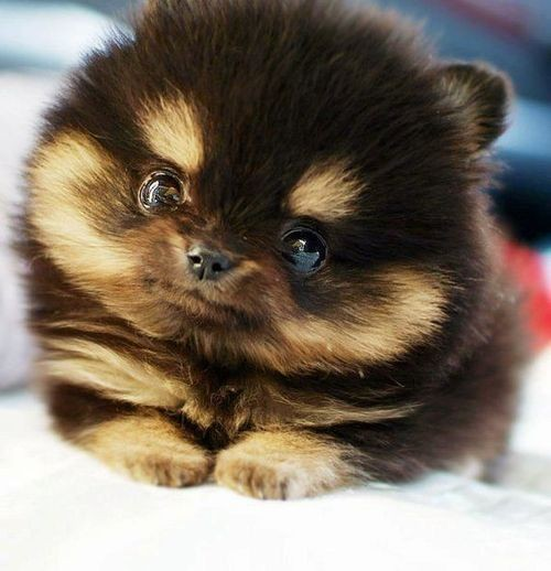 Introducing the Pomsky … The Cutest Designer Dog Ever