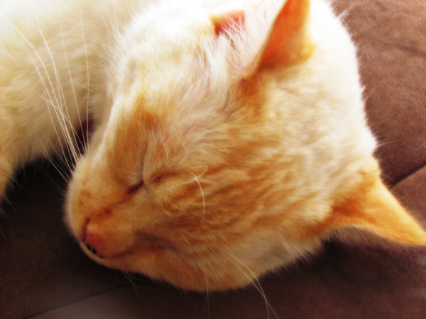 Flame Point Siamese Cat Picture