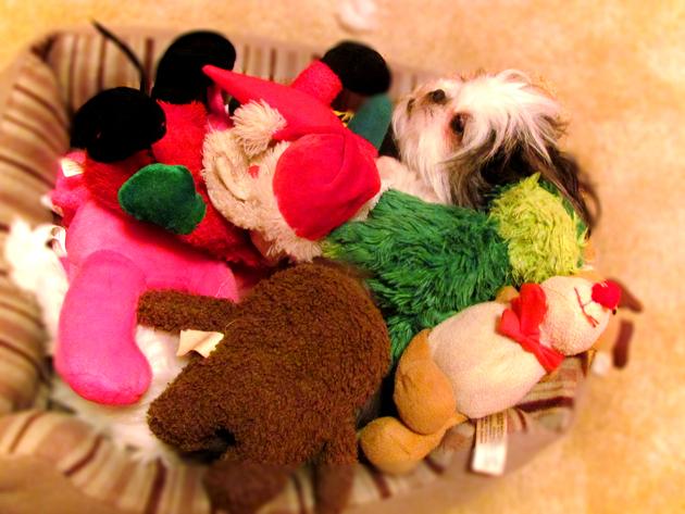 Shih Tzu Dog Pictures