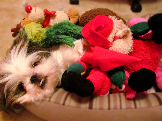 Sleepy Shih Tzu in Her Toys