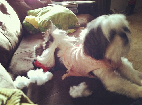 shih tzu and toys