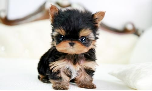 Pictures of Newborn Yorkie Puppies http://www.gracielushihtzu.com/seriously-cute-yorkie-puppies
