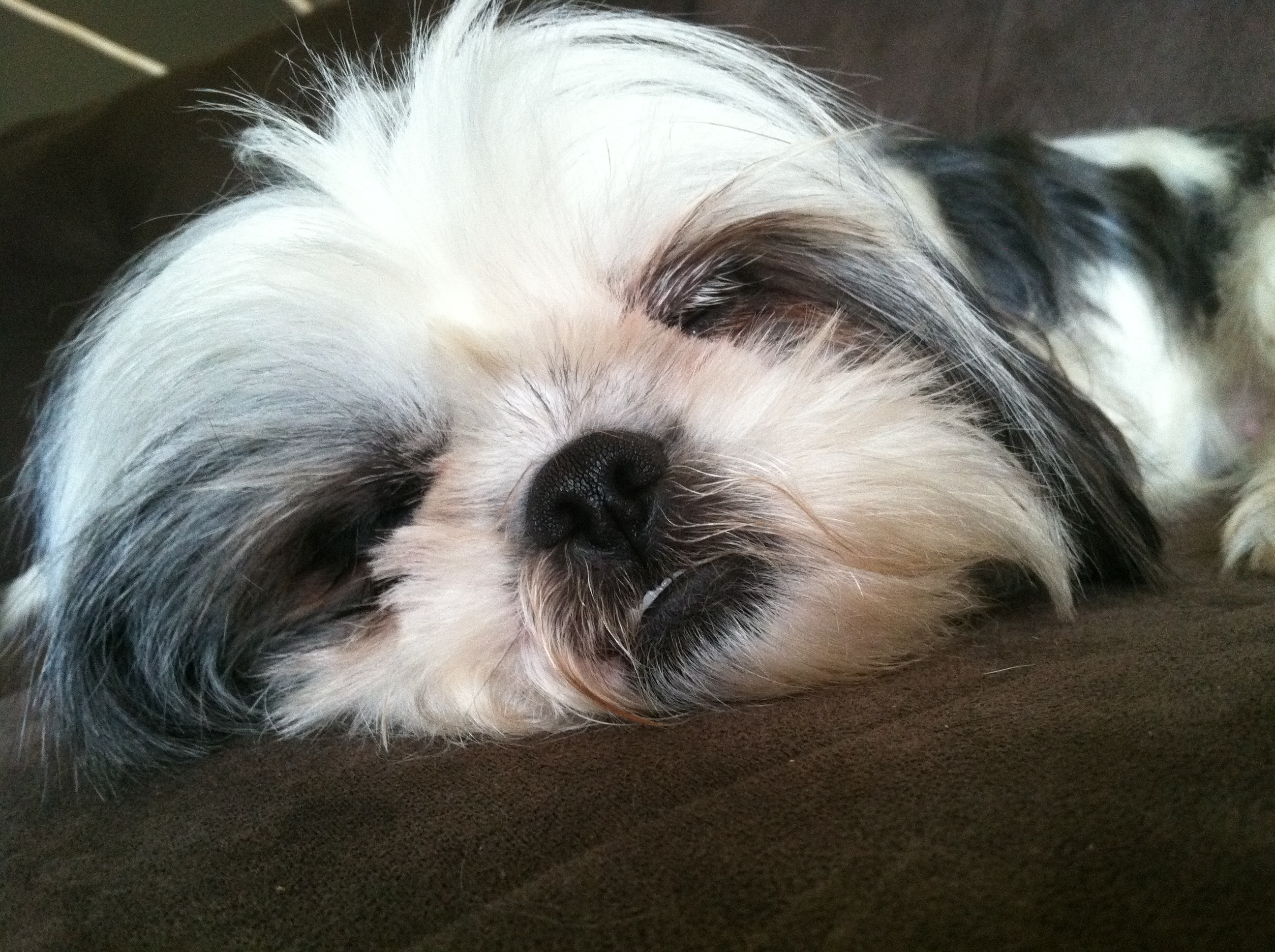 Shih Tzu Sleeping