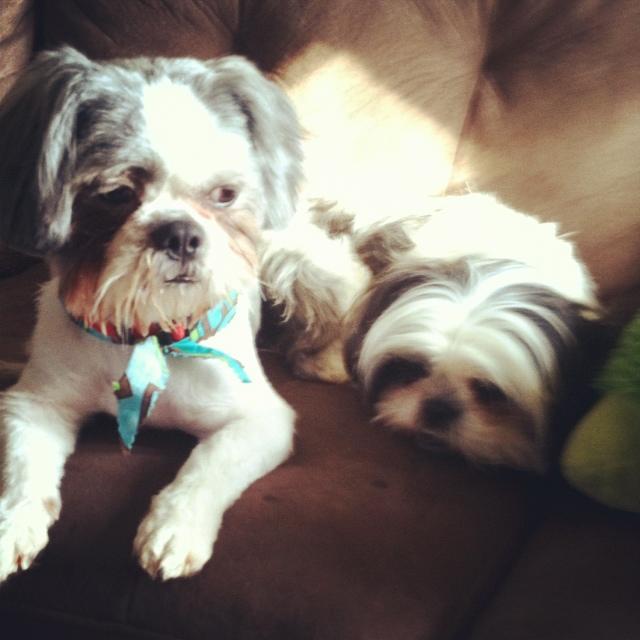 Shih Tzu Puppy Cut with Teddy Bear Face