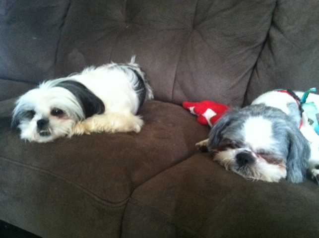 Shih Tzu Sleeping Together
