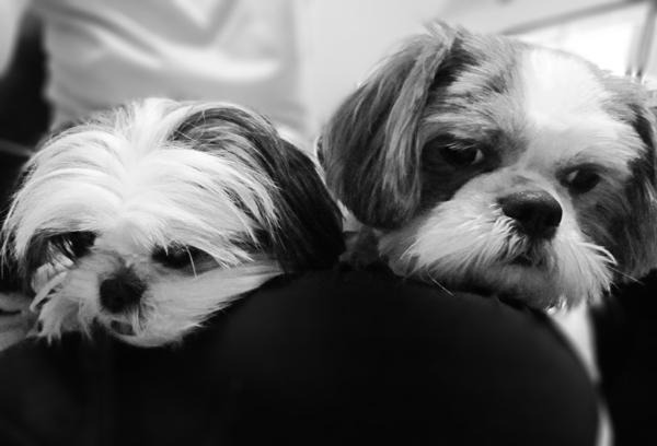 Shih Tzu in Black and White