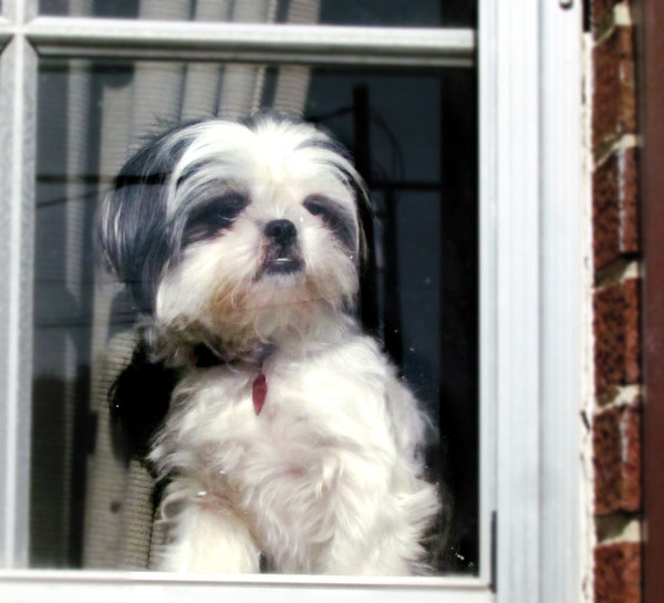 Shih Tzu Dog at Window