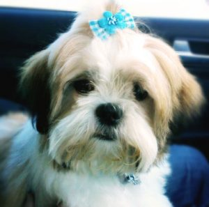 Shih Tzu with Bow