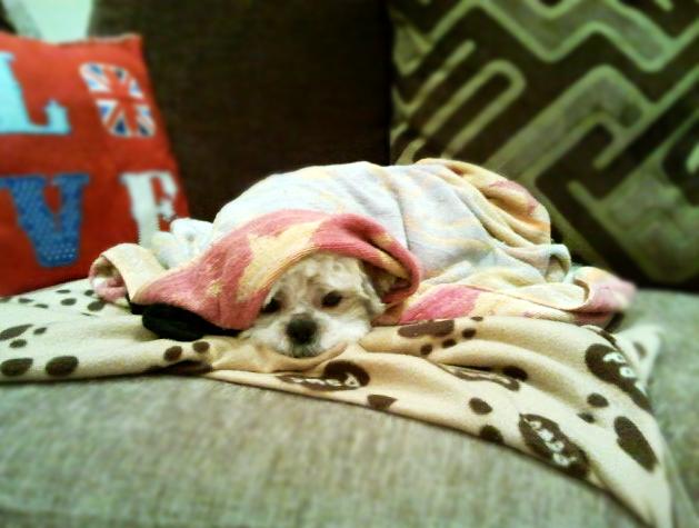 Shih Tzu under blankets