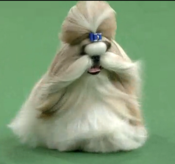 Shih Tzu at Dog Show