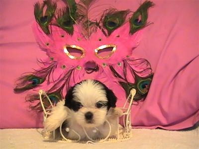Shih Tzu Puppy at 6 weeks