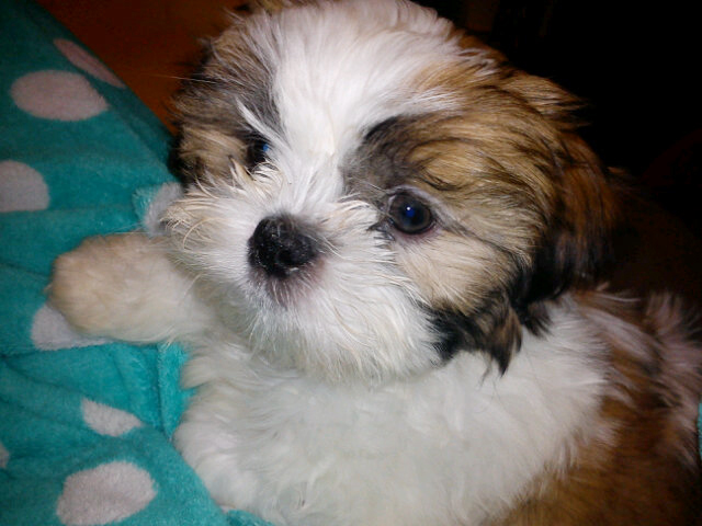 White and Tan Shih Tzu Puppy