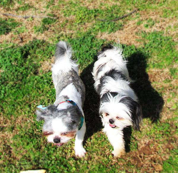 Two Shih Tzu Walk Side by Side