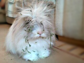 Lionhead Bunny Covered in Grass
