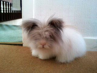 Fluffy Lionhead Rabbit