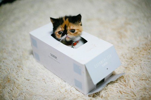 Calico Kitten in a Tissue Box