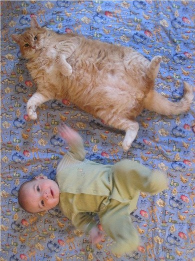 Funny Cat Picture Obese Kitty