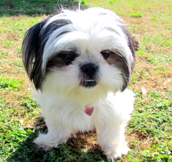 Black and White Shih Tzu Fluffy
