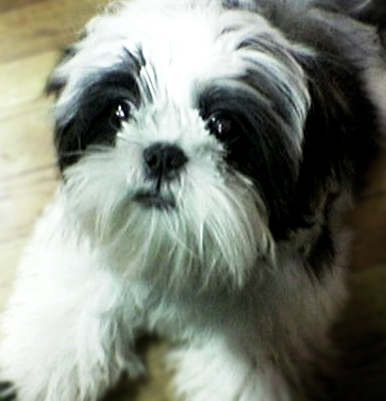 Black and White Shih Tzu boy