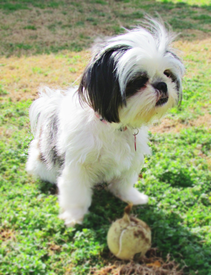 Shih Tzu puppy and Ball