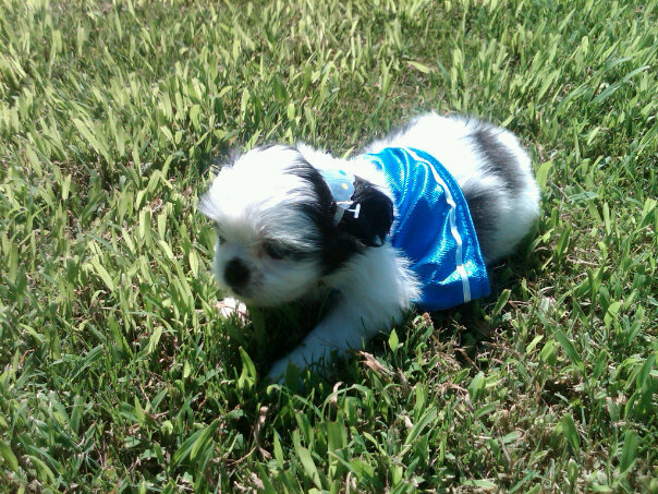 Tiny Shih Tzu Puppy in Grass