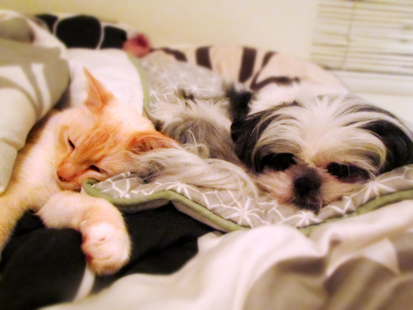 Flame Point Siamese and Shih Tzu