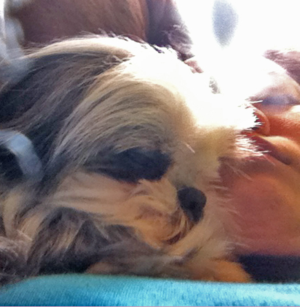 Shih Tzu Sleeping on Owner