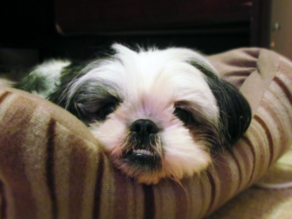Shih Tzu Dog on a Dog Bed