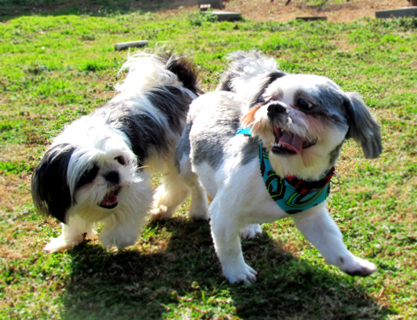 Black and White Shih Tzu, Gray and White Shih Tzu