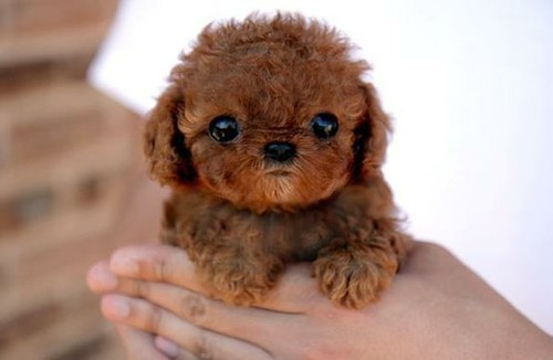 Dog breed that looks like chewbacca