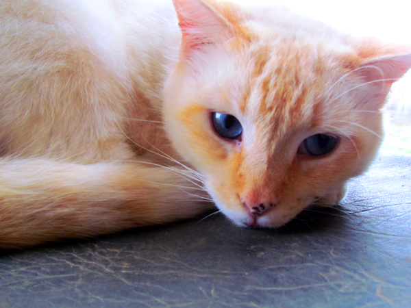 Picture of Flame Point Siamese Cat
