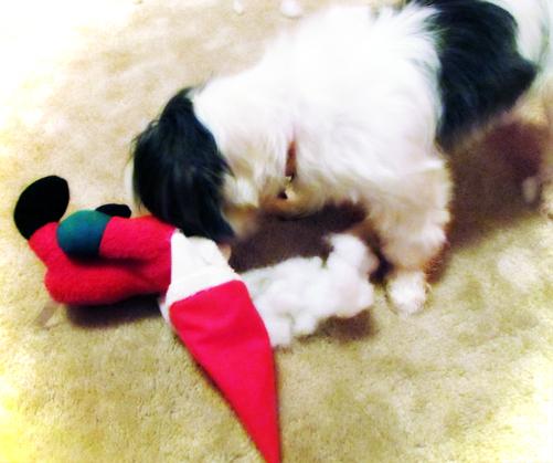 Shih Tzu Dog Destroys Toy Santa